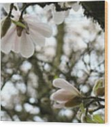 Magnolia Tree Flowers Pink White Magnolia Flowers Spring Artwork Wood Print