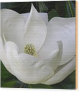 Magnolia Unfolding Wood Print