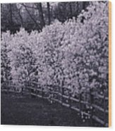Magnolias In Llewellyn Park, West Orange, New Jersey Wood Print