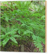 Maidenhair Ferns In Columbia River Gorge Wood Print