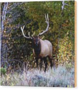 Majestic Bull Elk Survivor In Colorado  Wood Print