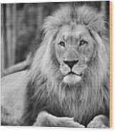 Majestic Male Lion Black And White Photo Wood Print