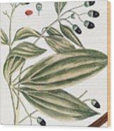 Malabar Cinnamon, 1735 Wood Print