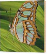 Malachite Butterfly (siproeta Stelenes) On Rhapis Palm Leaves (rhapis Excelsa) Wood Print