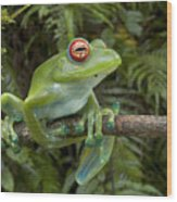 Malagasy Web-footed Frog Boophis Luteus Wood Print