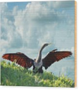 Male American Anhinga  Wood Print