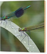 Male And Female Damsel Fly Wood Print
