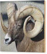 Male Bighorn Sheep Ram Wood Print
