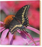 Male Black Swallowtail Butterfly On Echinacea Plant Wood Print