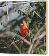 Male Cardinal II Wood Print