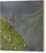 Male Common Chaffinch  Wood Print