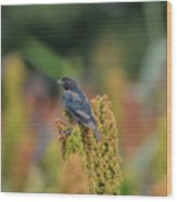 Male Cowbird Feasts On Milo In Shiloh National Military Park, Tennessee Wood Print