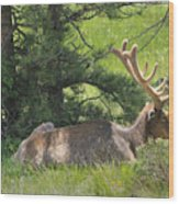 D10271-male Elk 2  Wood Print