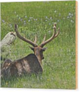 D10270-male Elk  Wood Print