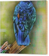 Male Fairy Bluebird Wood Print