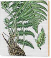 male fern, Dryopteris filix-mas Wood Print