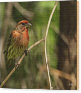 Male Finch In Red Plumage Wood Print