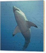 Male Great White Sharks Belly Wood Print