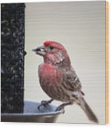 Male House Finch Feeding Wood Print