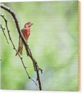 Male House Finch Out On A Limb Wood Print