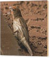 Male House Finch V10 Wood Print