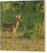 Male Impala At Sunset Wood Print