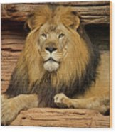 Male Lion Looking Right At Me Wood Print