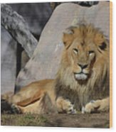 Male Lion Resting In The Warm Sunshine Wood Print