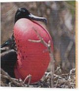 Magnificient Frigatebird  Wood Print