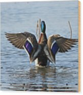 Male Mallard In Glorious Color  7515 Wood Print