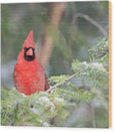 Male Northern Cardinal 2 Wood Print