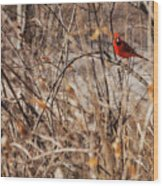 Male Northern Cardinal Wood Print