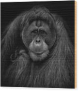 Male Orangutan Black And White Portrait Wood Print