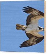 Male Osprey In Flight Wood Print