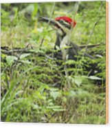 Male Pileated Woodpecker On The Ground No. 2 Wood Print