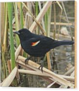 Male Red Winged Blackbird Wood Print