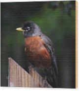 Male Robin Wood Print
