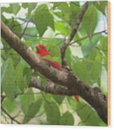 Male Summer Tanager Wood Print