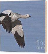 Male Upland Goose Wood Print