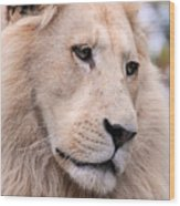 Male White Lion ... Thabo Wood Print