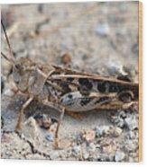 Male Wrinkled Grasshopper Wood Print