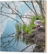 Mallard At Silver Lake Wood Print