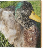 Mallard Close Up Wood Print
