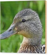Mallard Duck Female Wood Print