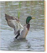 Mallard Duck Landing In Pond Wood Print