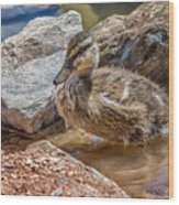 Mallard Duckling Wood Print