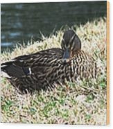 Mallard Female 1 Wood Print