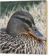 Mallard Female 2 Wood Print