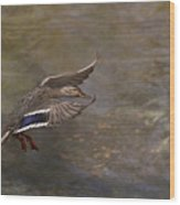 Mallard Landing On Thompson's Pond Wood Print
