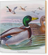 Mallard Or Wild Duck Antique Bird Print Joseph Wolf Birds Of Great Britain  Wood Print